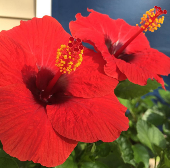 Patio Party Hibiscus Offers Outstanding Color, Variety