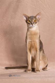 Абіссінська кішка