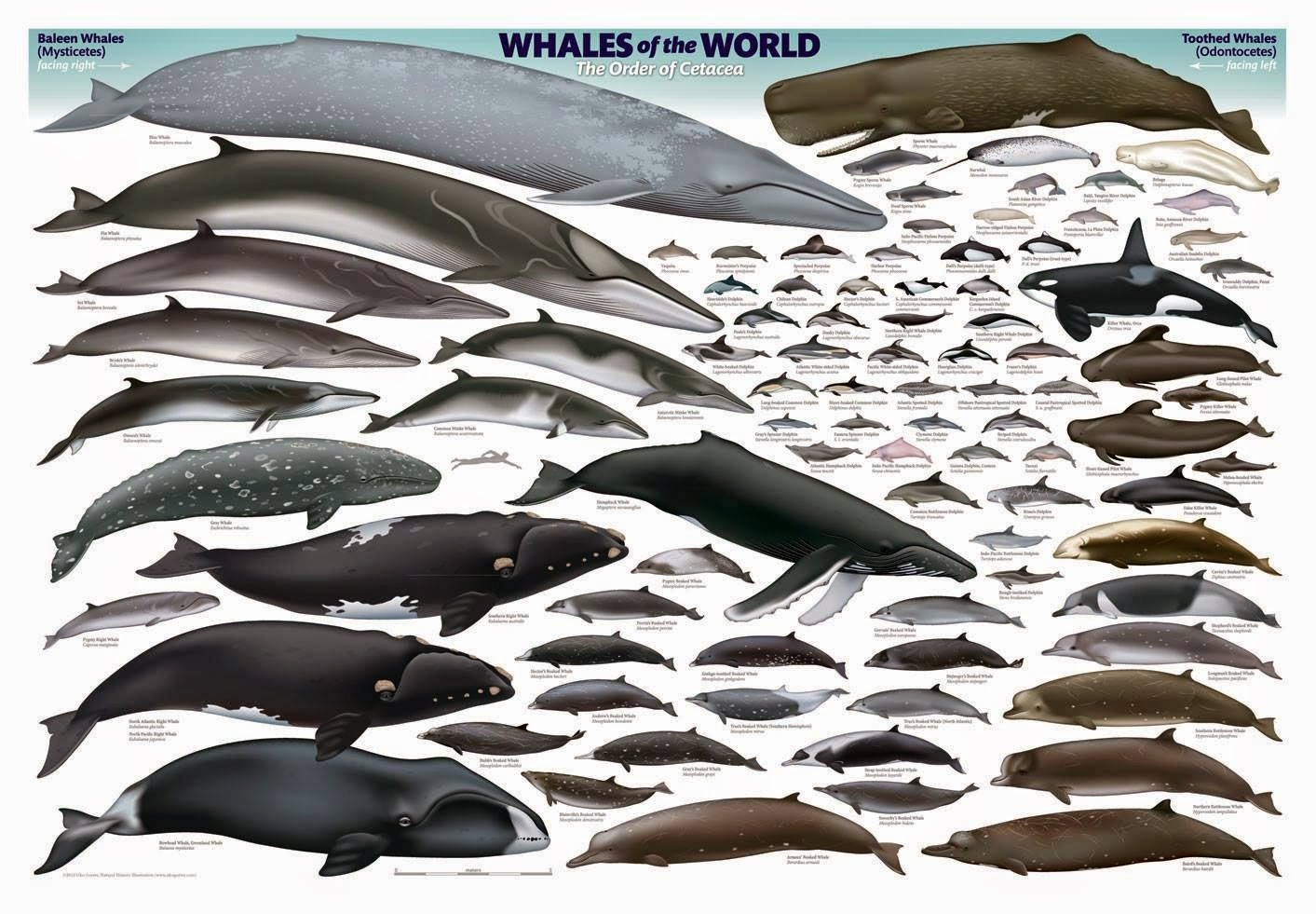 THE FAMILY OF CETACEA