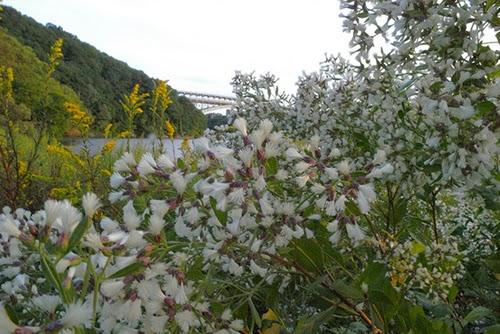 Plantas y flores plantas especies murta for Especies de arbustos