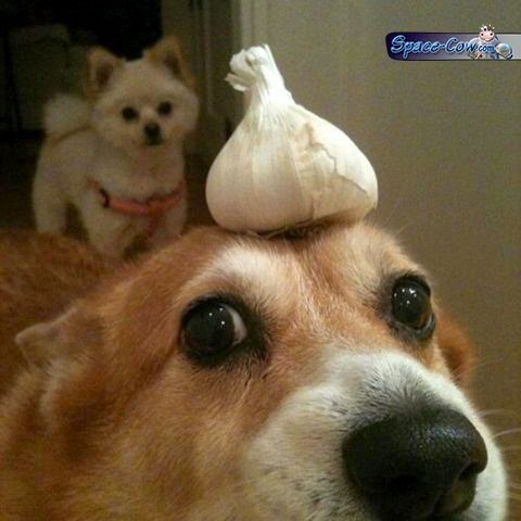 funny cute corgi image
