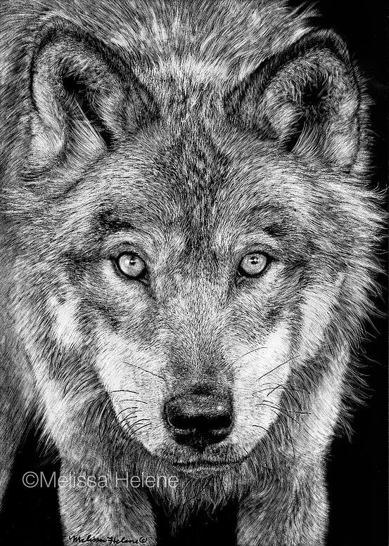 11-Grey-Wolf-Melissa-Helene-Amazing-Expressions-in-Scratchboard-Animal-Portraits-www-designstack-co