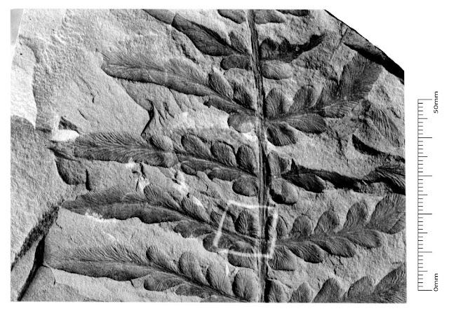 Neuropteris obliqua (Brongniart). Kidston negative number: Kidston 1246. Quarter plate. Box 3.