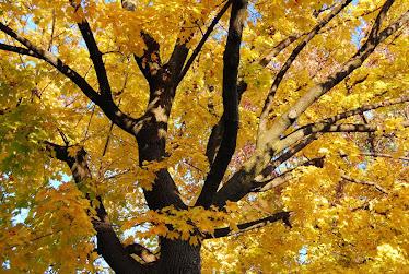 hojas de maple en otoño