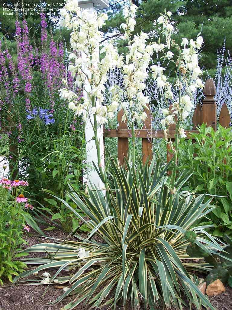 palmierpolar yucca filamentosa planta exotica. Black Bedroom Furniture Sets. Home Design Ideas