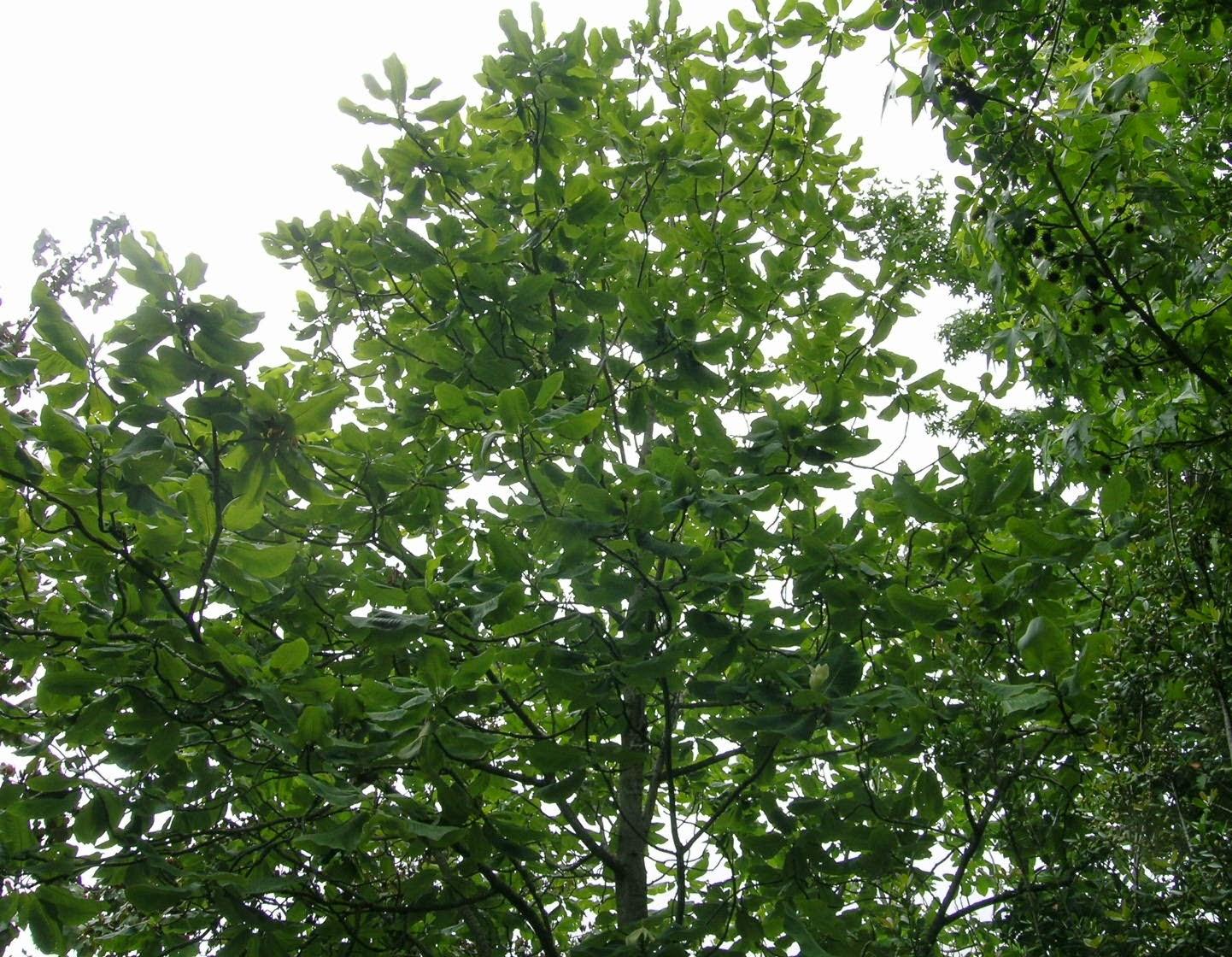 El arc n de mis intereses rboles templados en m xico for Vivero las magnolias