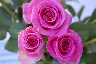 rosa rosor