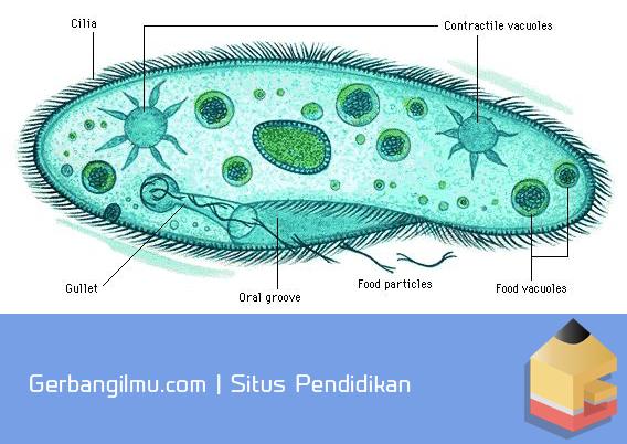 Sistem transportasi pada Paramecium.png
