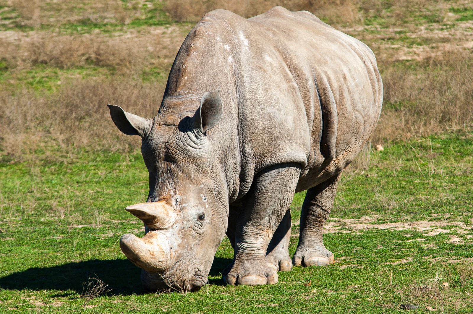 White Rhinoceros, Fossil Rim Wildlife Center