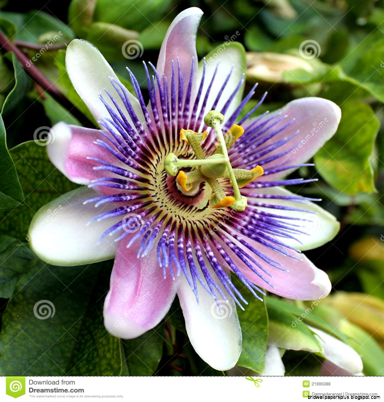 FunMozar – Passion flower