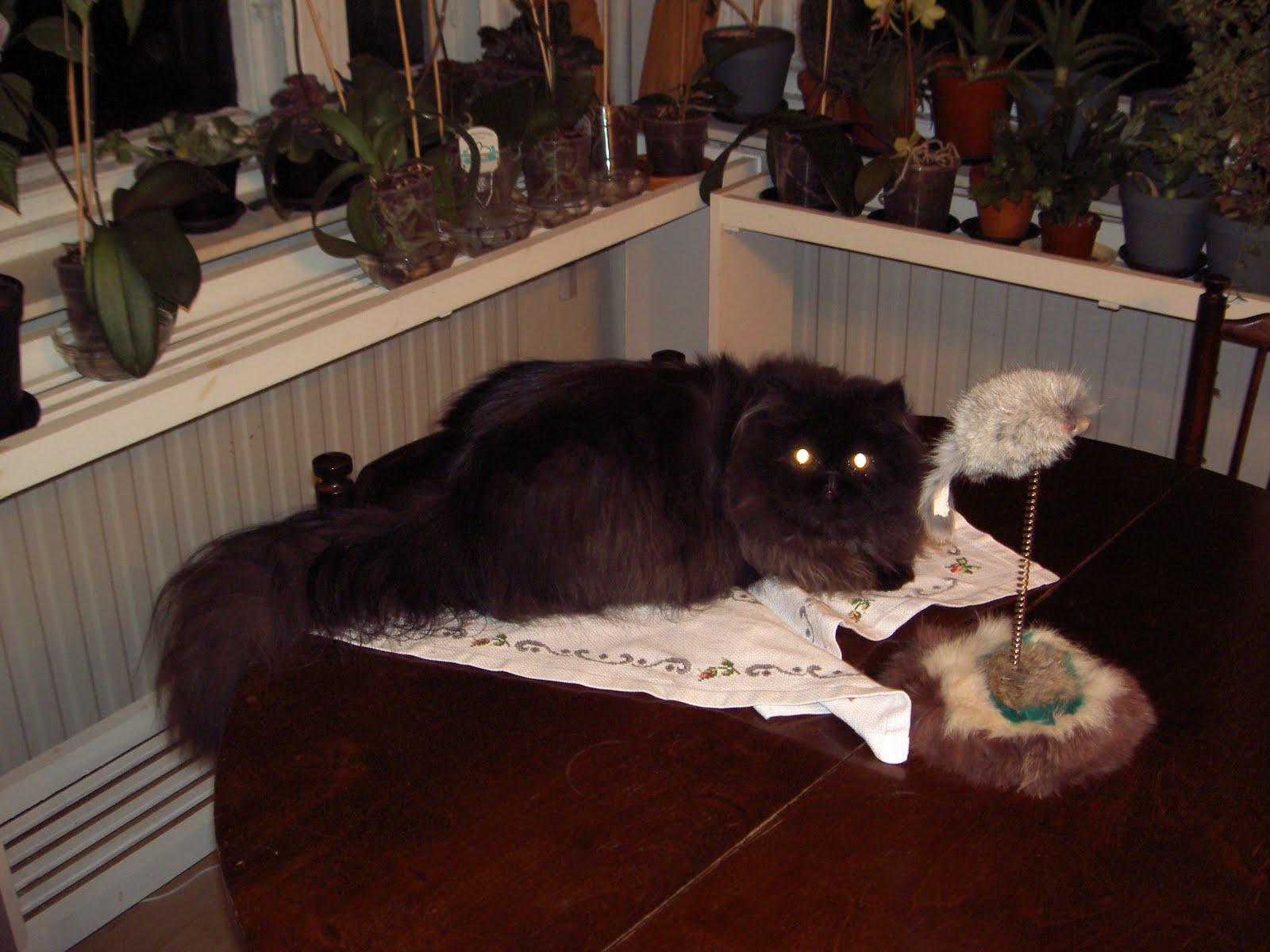 Det här är mommos och mofas katt Rambo. Han är en perser. Hoppas att ni  gillar honom lika mycket som jag gör. 6dcec6516b18d