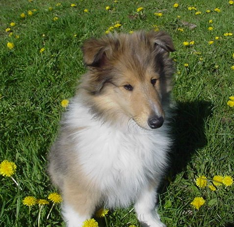 Collie Puppies on Collie Puppy Pictures   Puppy Pictures And Information