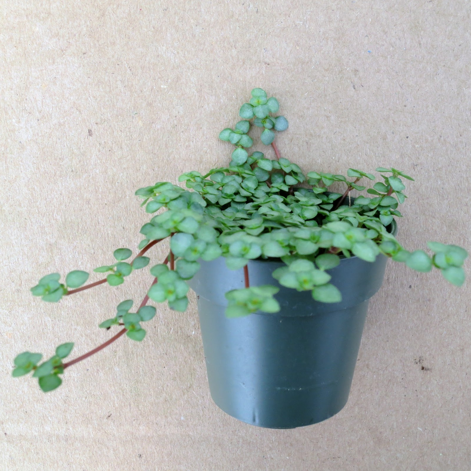 Blue Jobu0027s Tears   U0027Miniu0027 Plants For Miniature Gardens