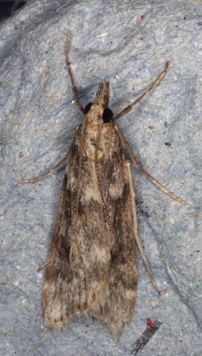 west wickham common moths may naturally. Black Bedroom Furniture Sets. Home Design Ideas