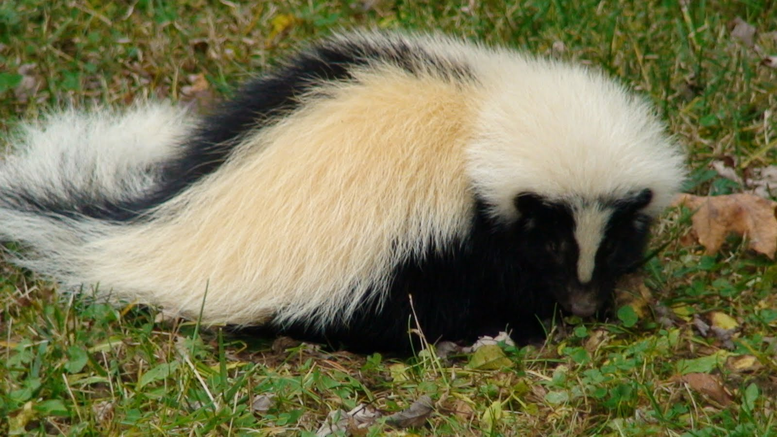 Skunk | The Biggest Animals Kingdom Raccoon With Rabies