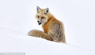 TheJungleStore.com Blog   Red Fox In Snow