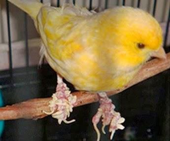 Cara Ampuh Mengobati Jamur Di Kaki Burung Kicau