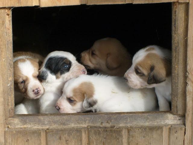 Красивые щенки в конуре