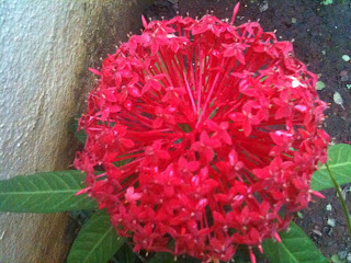 red ixora flower in full bloom