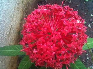 red ixora flower in full bloom