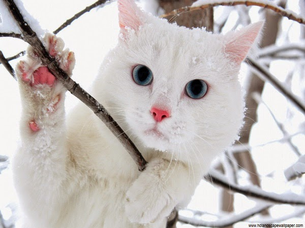 Belle Photo Chat blanc mignon dans la neige