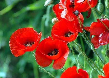 Сорта тюльпанов фото и названия  Цветы и клумбы  Мои дачи