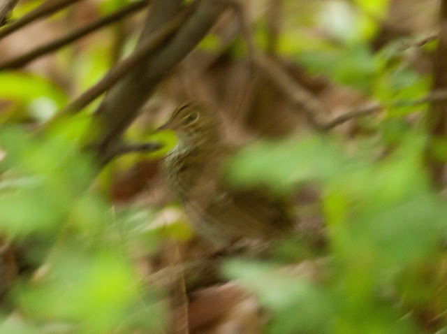 Ovenbird - Central Park, New York