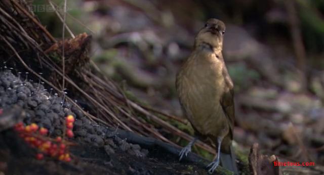 Vogelkop Bowerbird life cycle