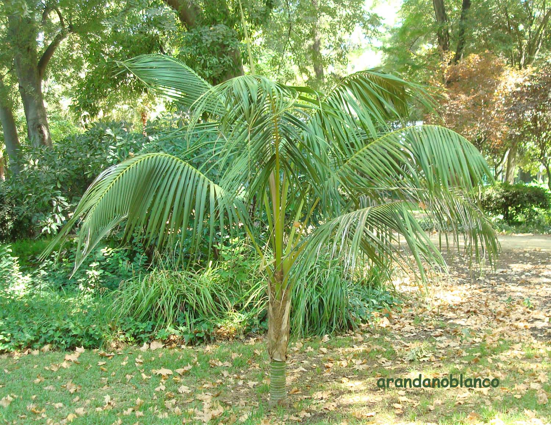 Elarbolmiamigo encinarosa palmeras kentias kentia for Palmeras de exterior