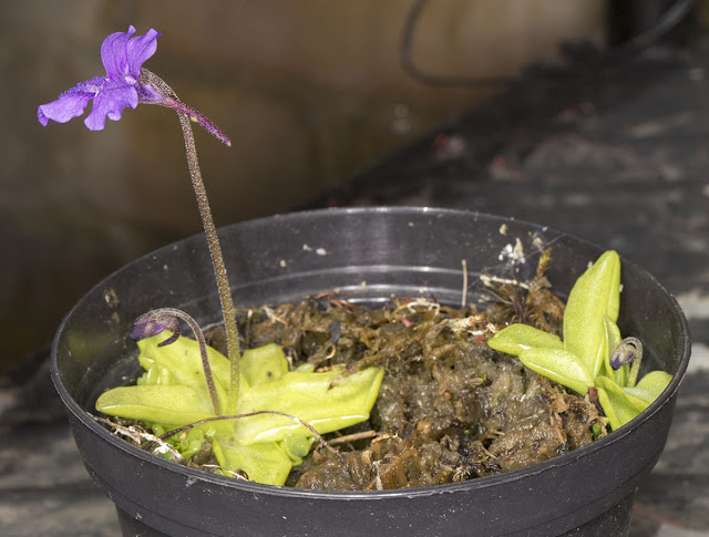 Butterwort, Pinguicula grandiflora, on my balcony in Hayes.  12 May 2013.