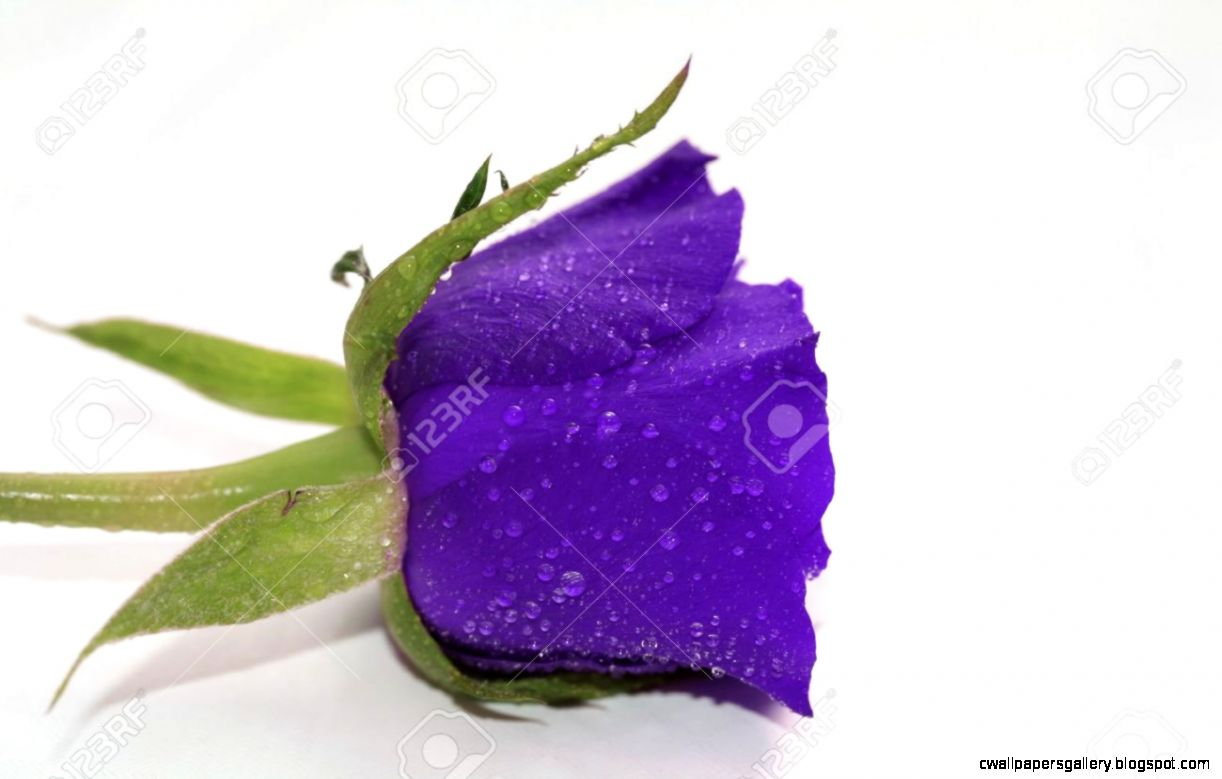 Waterdrops On A Single Purple Rose Overwhite Stock Photo Picture