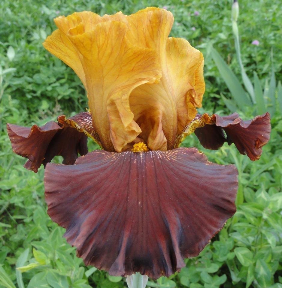 World Of Irises When Can I Move My Tall Bearded Irises