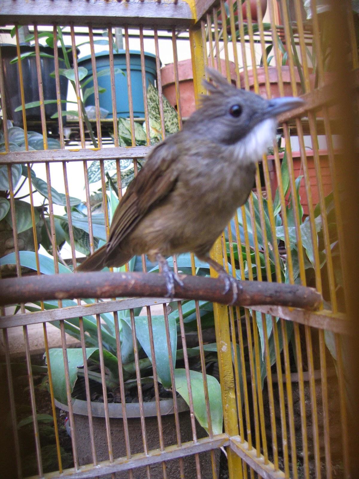 Foto Burung Cucak Kapas Terbaik
