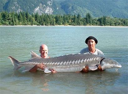 Cá tầm trắng