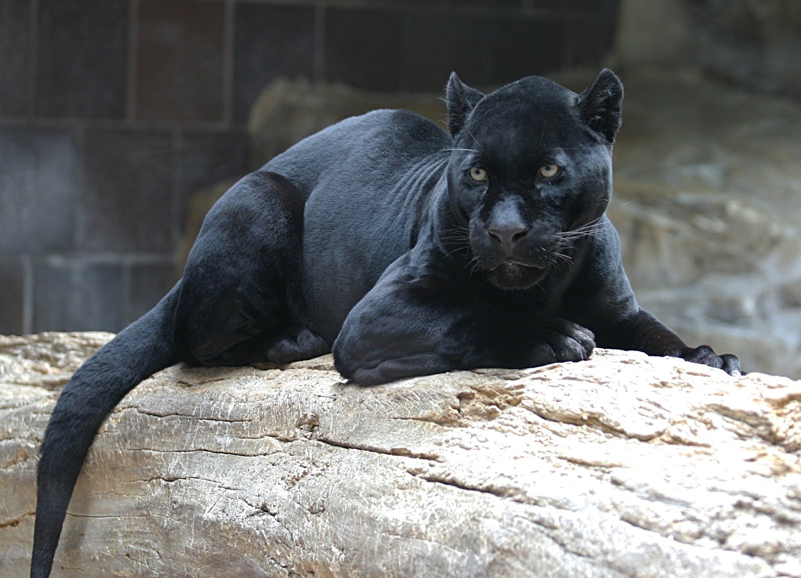 ShukerNature  THE TRUTH ABOUT BLACK PUMAS   SEPARATING FACT FROM