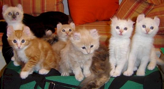 American Curl Cat Wallpaper Fun Animals Wiki Videos