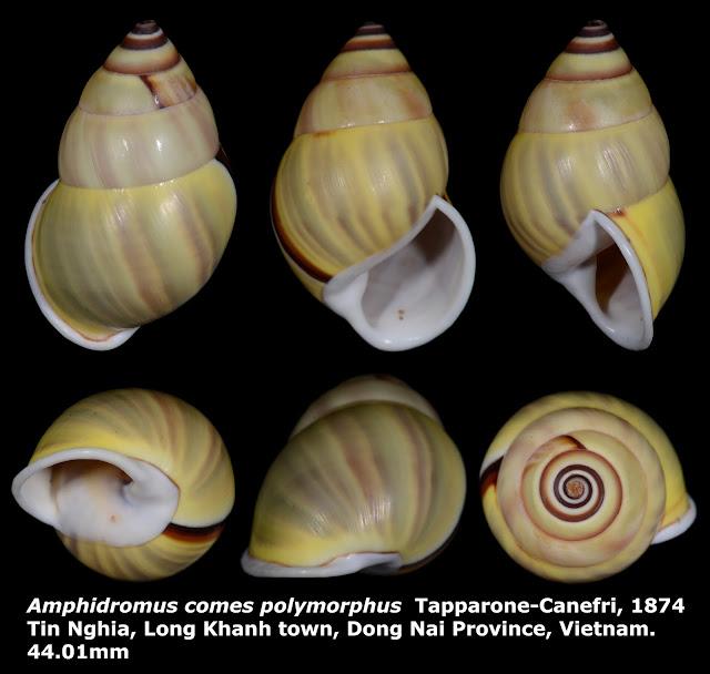 Amphidromus comes polymorphus 44.01mm