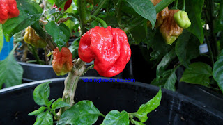 Moruga Scorpion seeds, Butch T seeds
