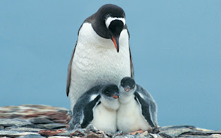 pinguin family wallpaper