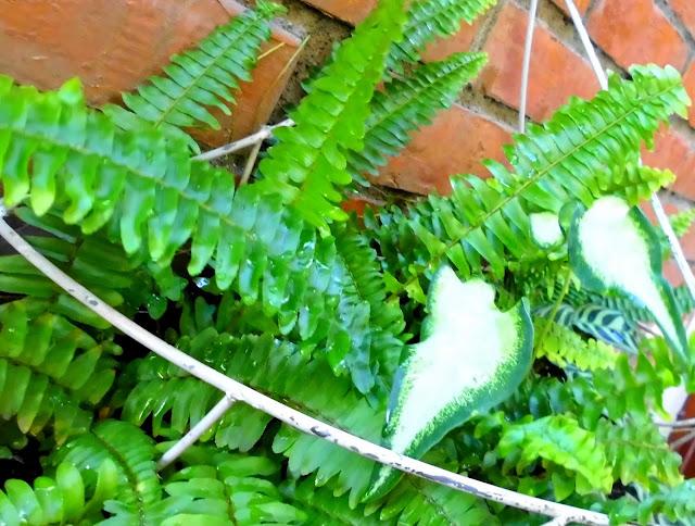 Helecho espada (Nephrolepis exaltata), Caladium White Ruffles y Calateas Makoyana