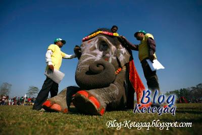 pertandingan gajah paling cantik