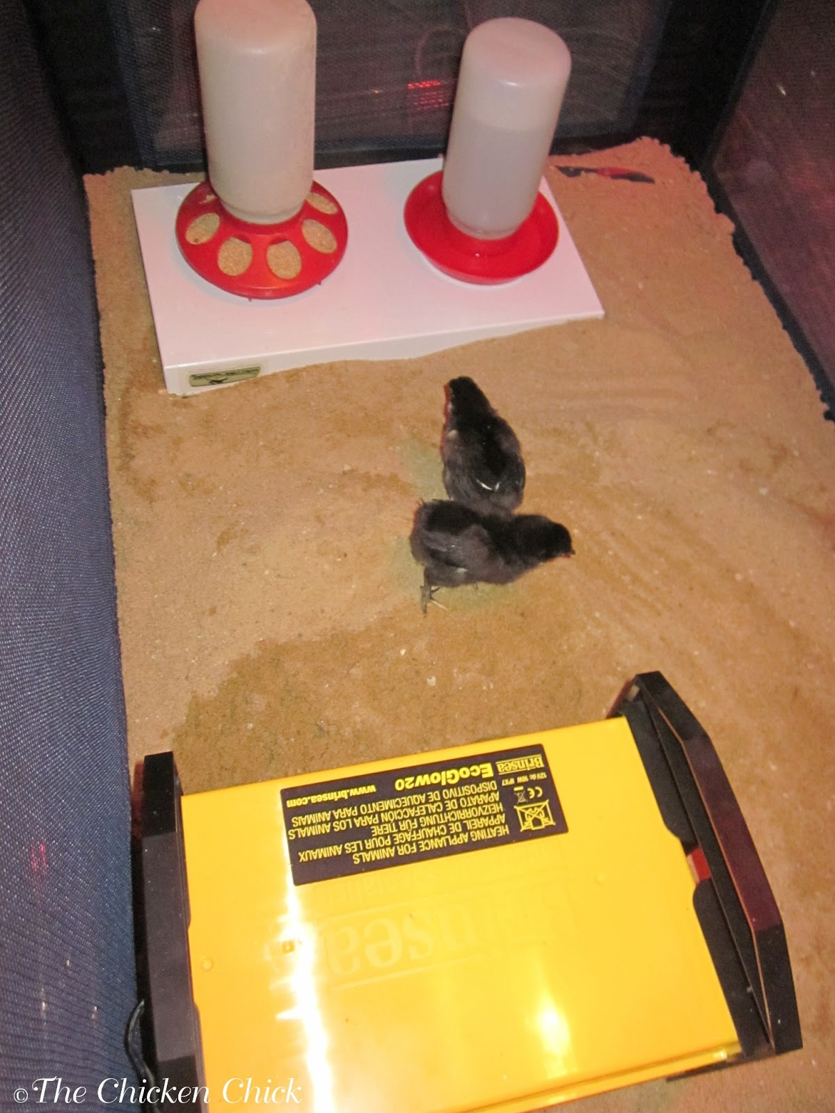 The Chicken Chick®: When to Move Chicks from Brooder to Chicken Coop