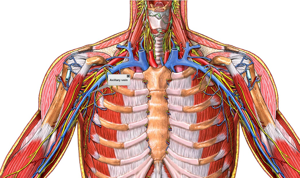 Excelente La Anatomía De La Vena Axilar Ideas - Imágenes de Anatomía ...
