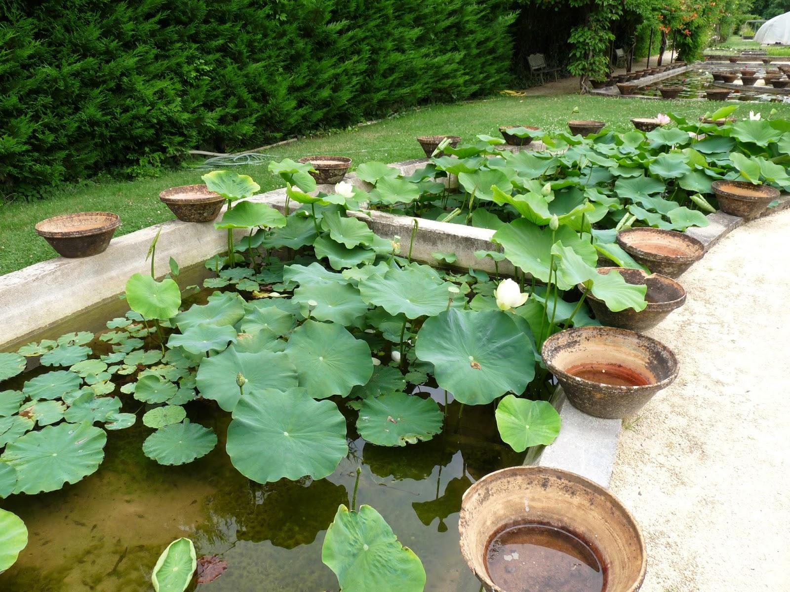 A Visit To Latour Marliac 33 I Need To Grow More Lotus A