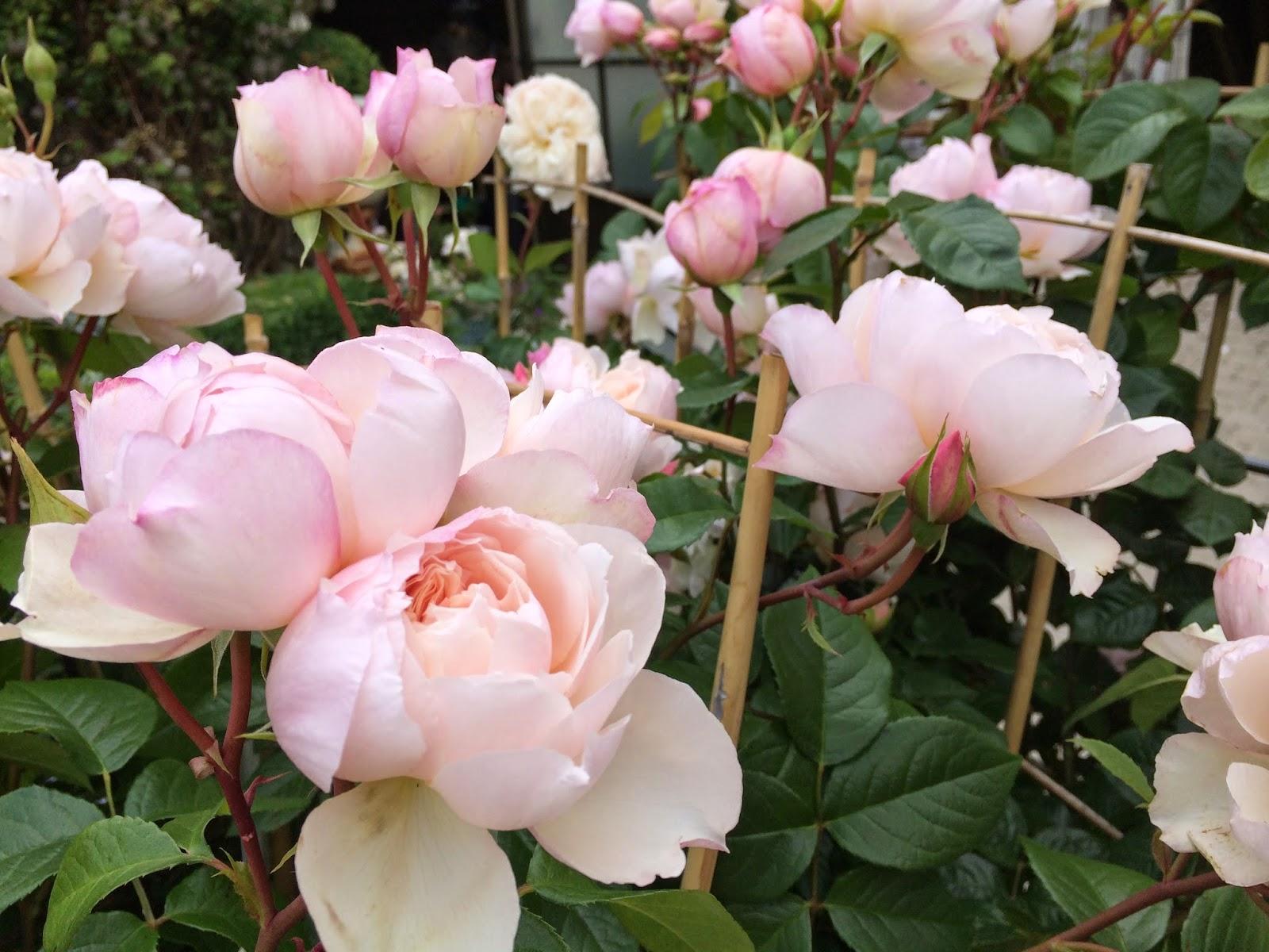 la passion des rosiers la p pini re fil roses les 5 meilleurs rosiers grimpants s lection. Black Bedroom Furniture Sets. Home Design Ideas