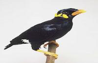 Burung beo nias ( burung yang dilindungi )