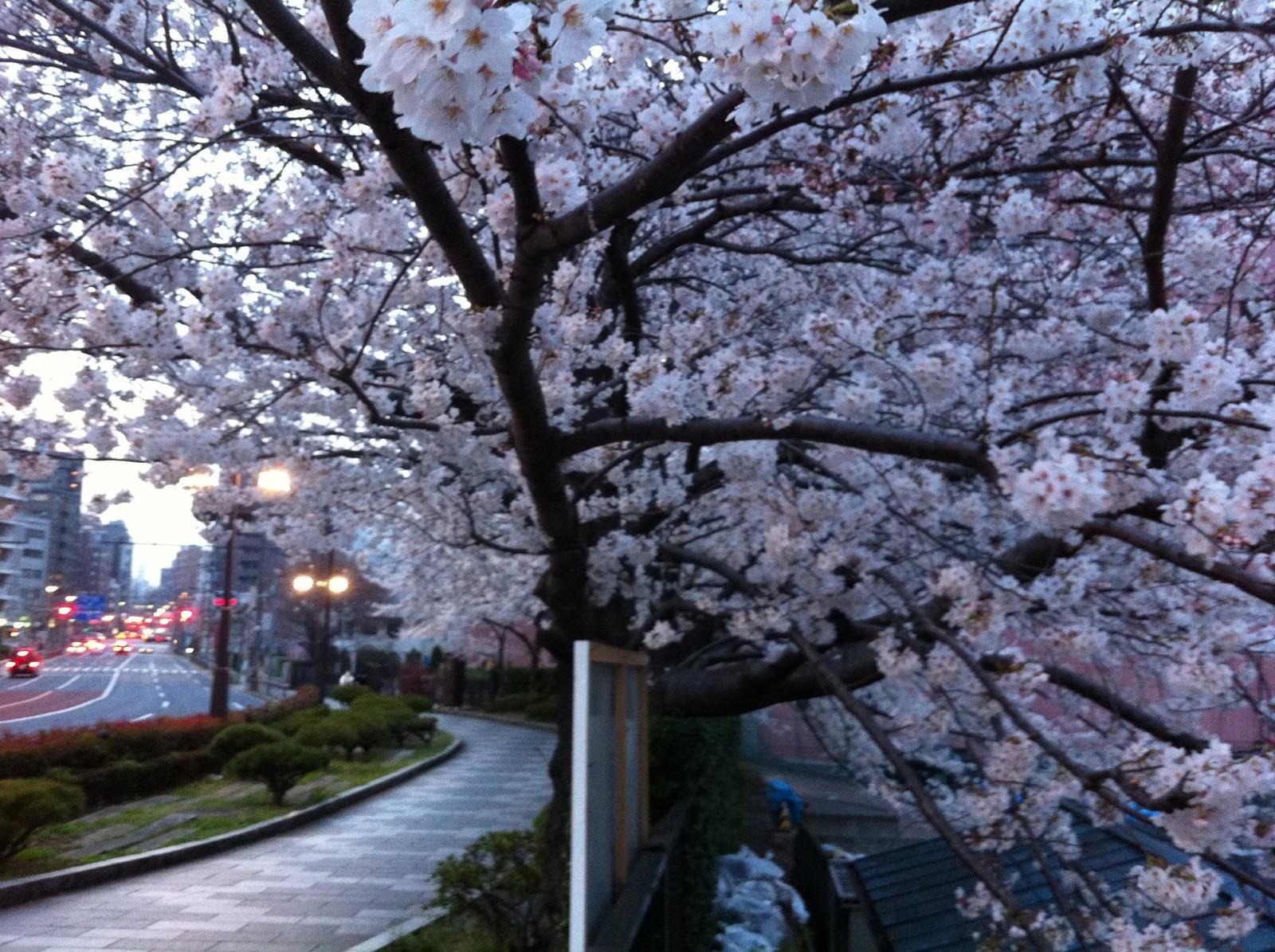 Dusk blossom yozakura in Kuramae, Taito ward, Tokyo.