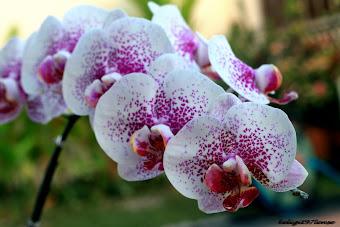 Borneo Orkid