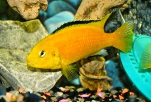 Ikan Ternyata Lebih Cerdas Daripada Yang Kita Bayangkan Cichlid Afrika (Labidochromis caeruleus)