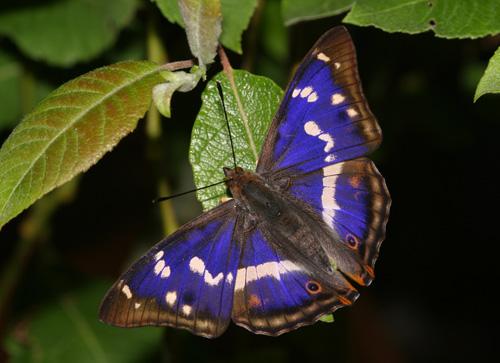 Kupu-kupu Maharaja ungu